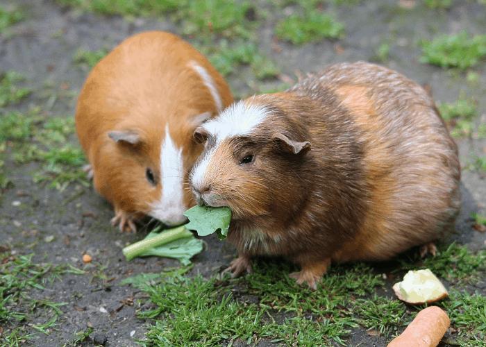 2 guinea pig eating leaves