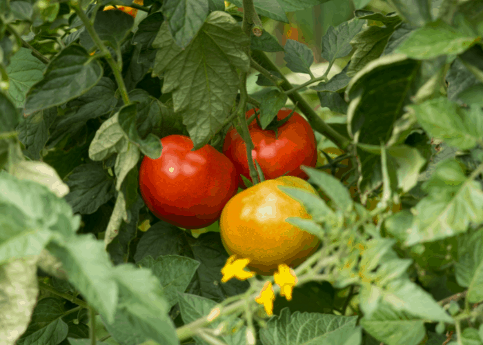 3 tomatoes in a tree