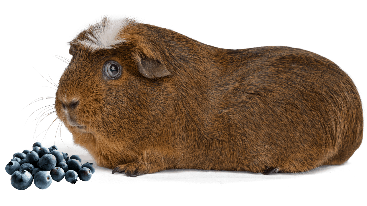Can Guinea Pigs Eat Blueberries image
