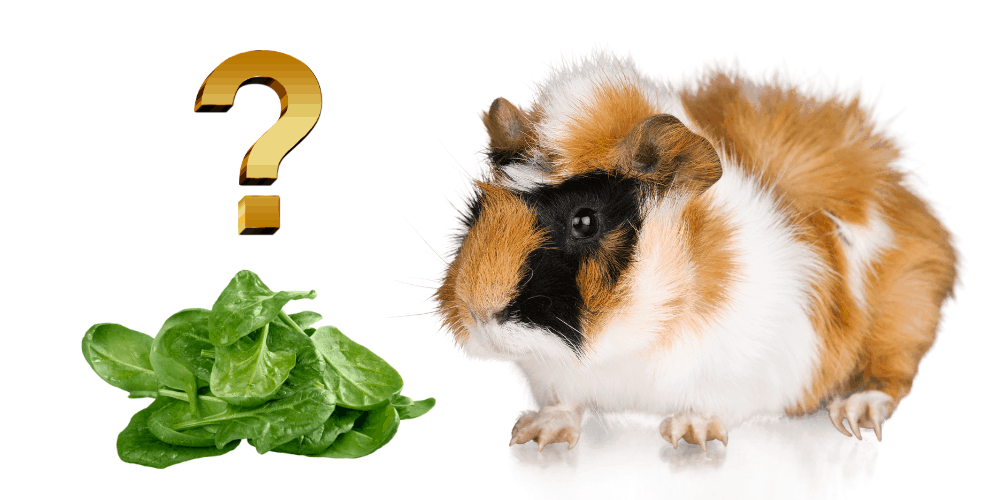 Can Guinea Pigs Eat Spinach image