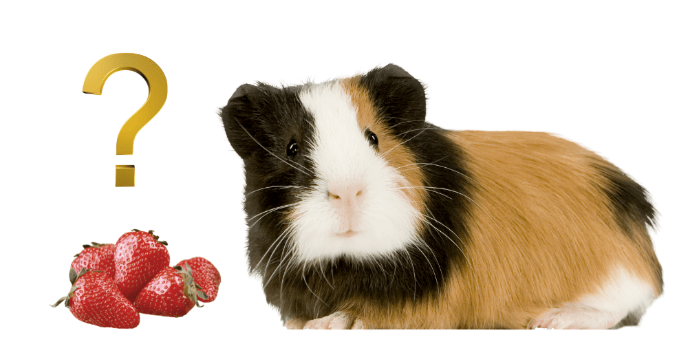 Can Guinea Pigs Eat Strawberries image