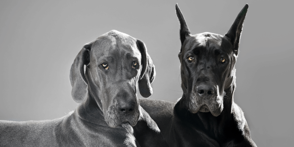 Great Dane ear cropping featured image
