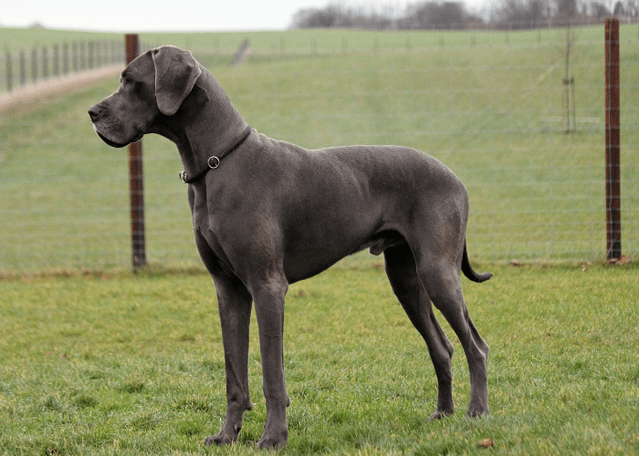 Great Dane standing on the lawn