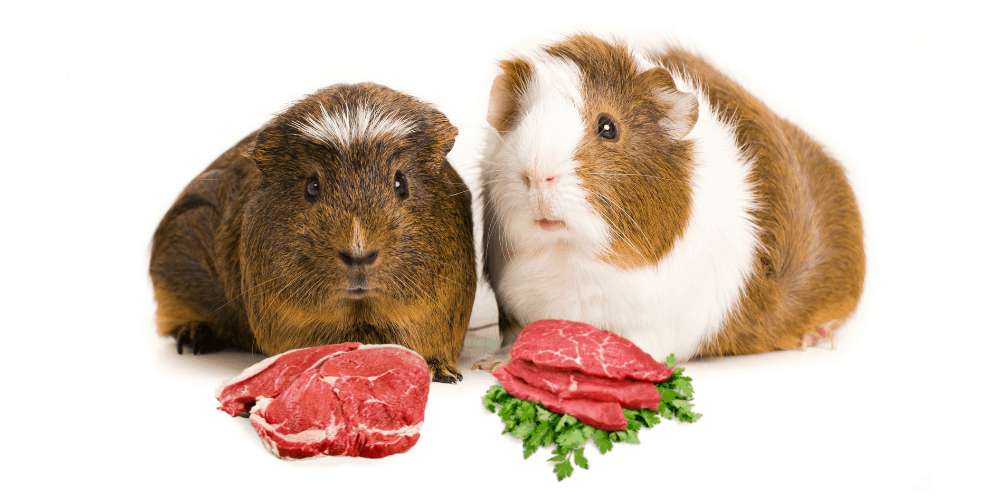 can guinea pigs eat meat image