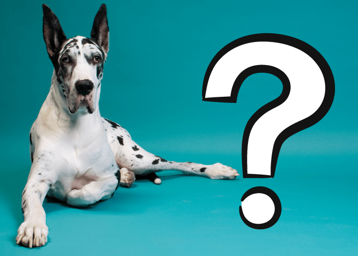great dane and question mark