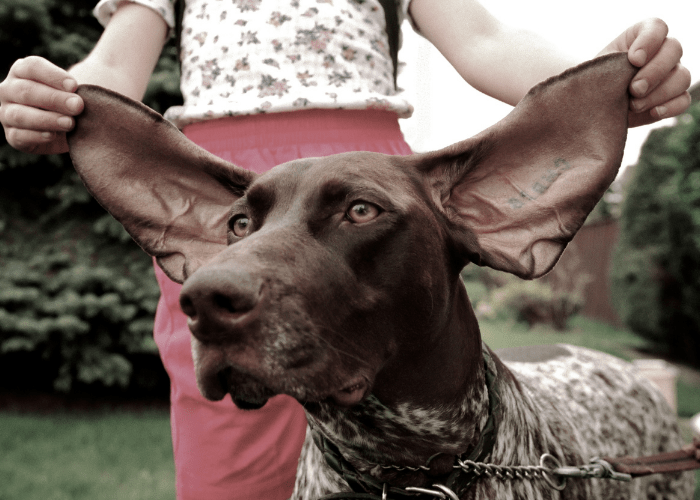 great dane ears being pulled up