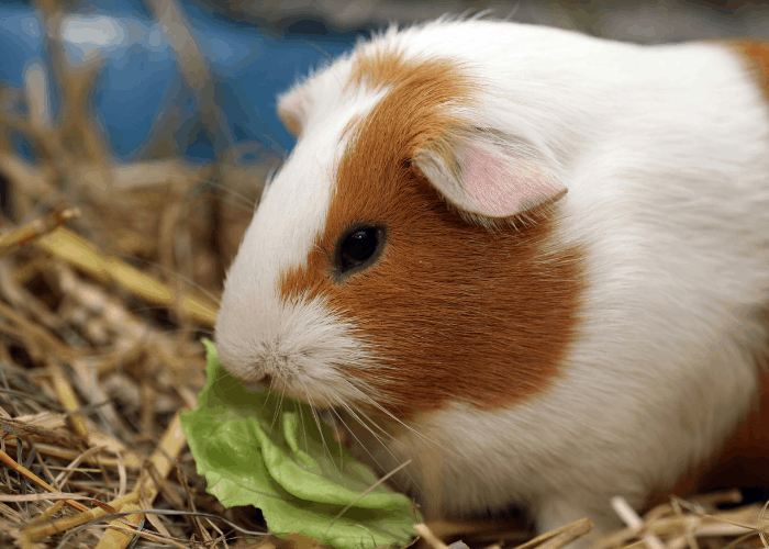 guinea pig eating hay and grass