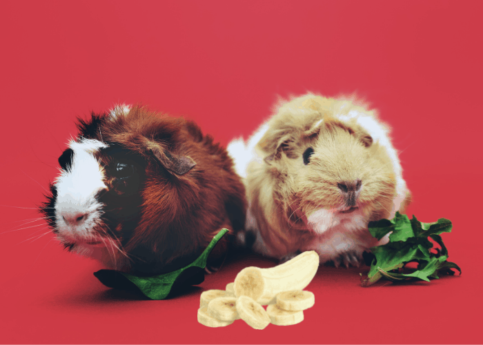 guinea pig eating leaves and bananas