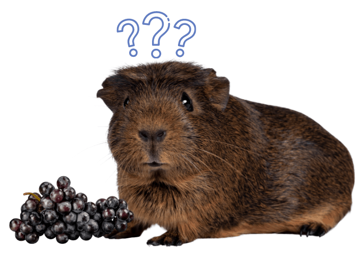 guinea pig with 3 question marks and grapes