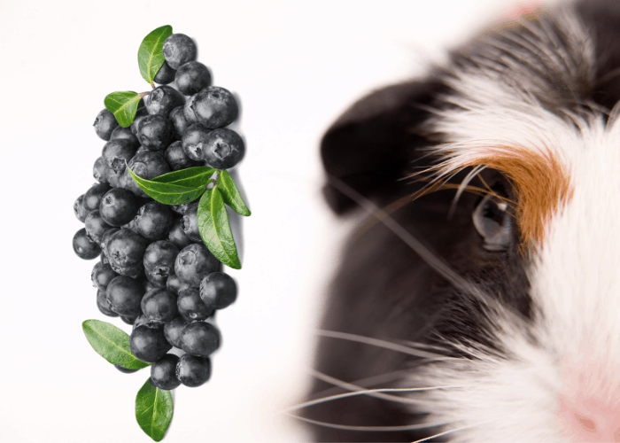 guinea pig with blueberries