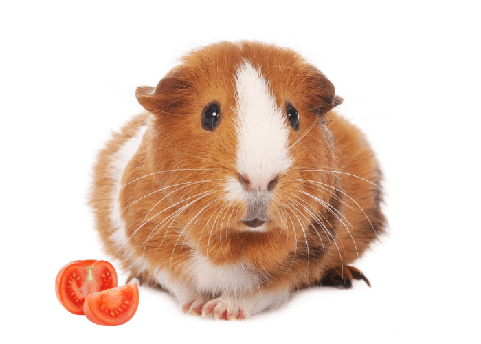 guinea pig with cut tomato