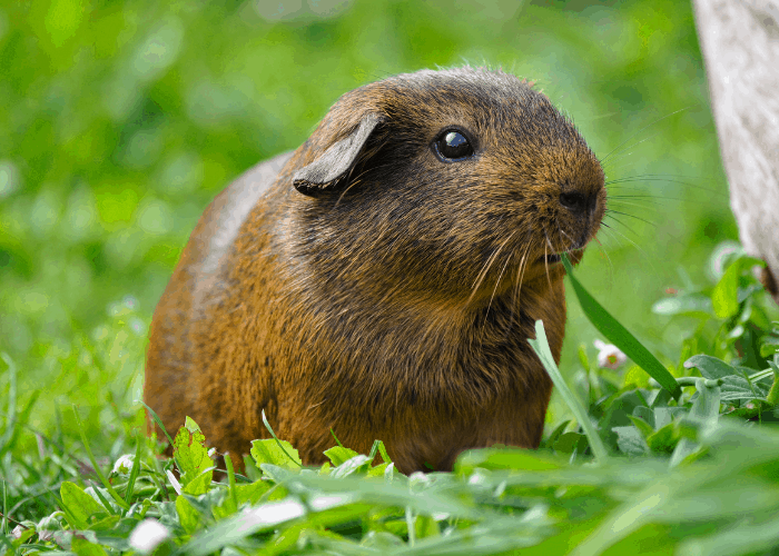 guinea pigs on the lawn