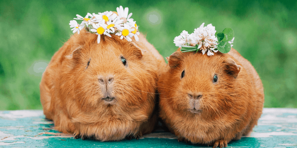 what can guinea pigs eat image