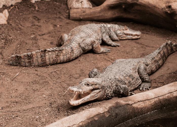 2 crocodiles on dry land