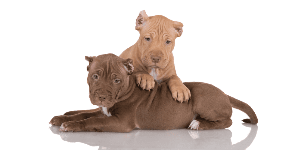 2 puppies Pros and Cons of Ear Cropping in Dogs