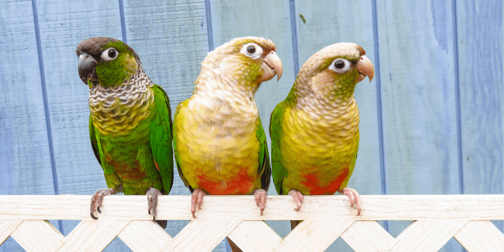 Pineapple Green Cheek Conure featured image