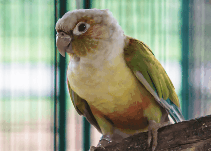 Pineapple Green Cheek Conure inside a cage