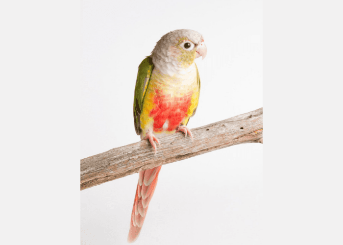 Pineapple Green Cheek Conure on a branch