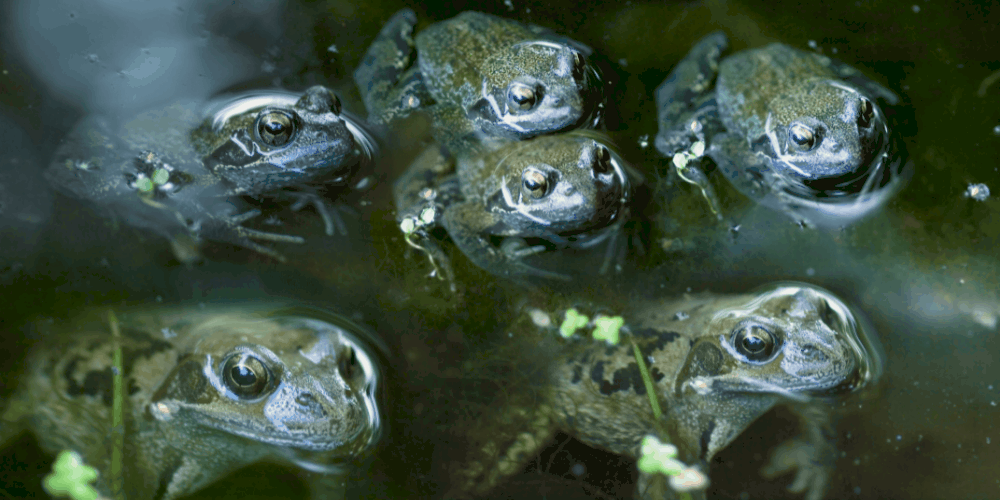 What Do You Call a Group of Frogs image