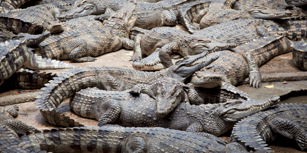 What is a Group of Crocodiles Called post image