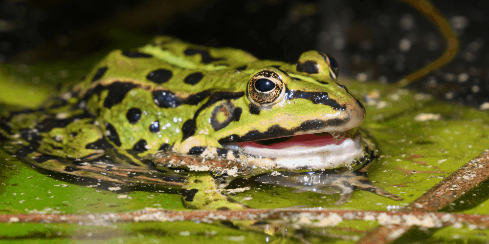 Why Do Frogs Scream image