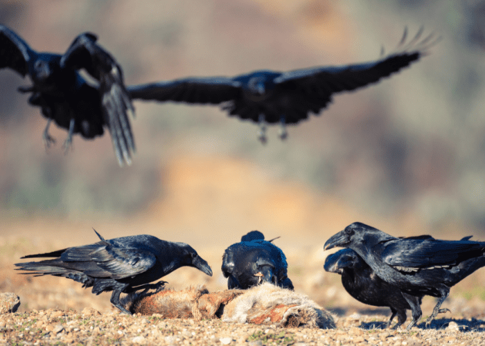 a group of raven eating