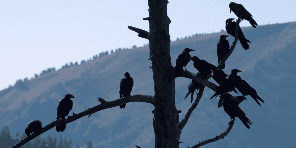 what do you call a group of ravens image
