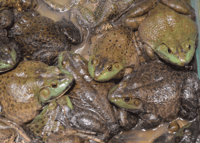 an army of frogs