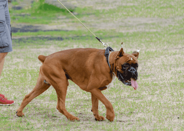 boxer with cropped ears and tail