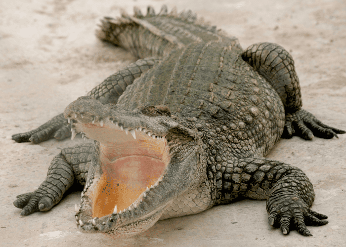 crocodile with open mouth on dry land
