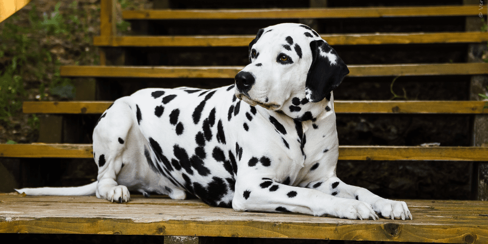 dalmatian on the stairs