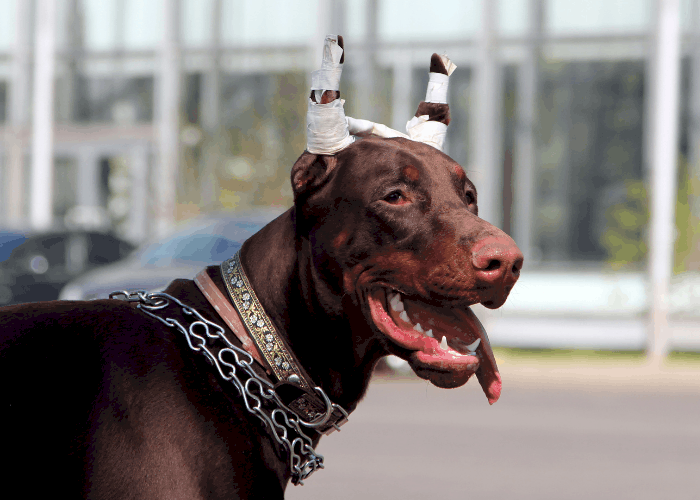doberman with taped cropped ears