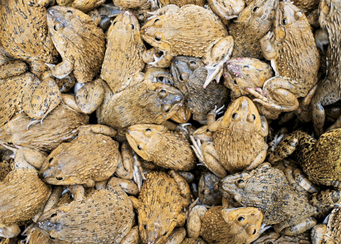 group of brown frogs