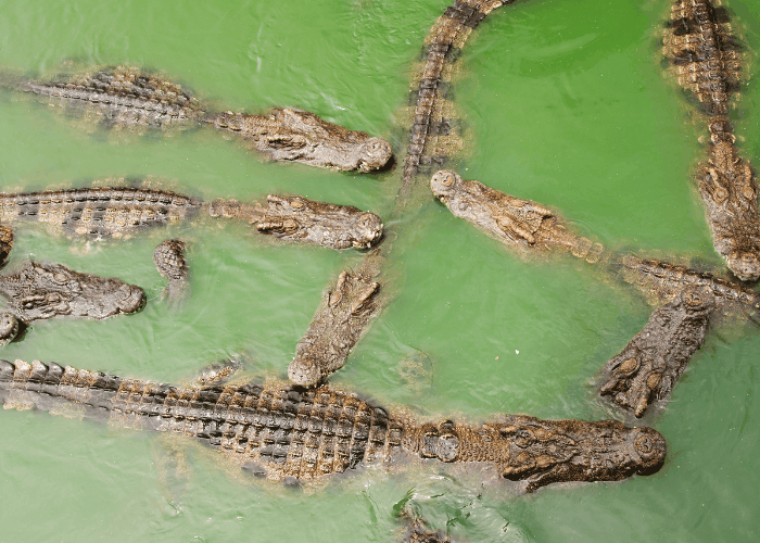 group of crocodiles in the water
