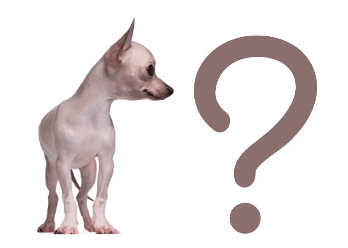 hairless chihuahua and a big question mark