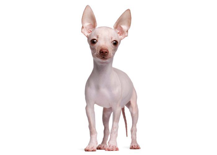 hairless chihuahua standing on a white background