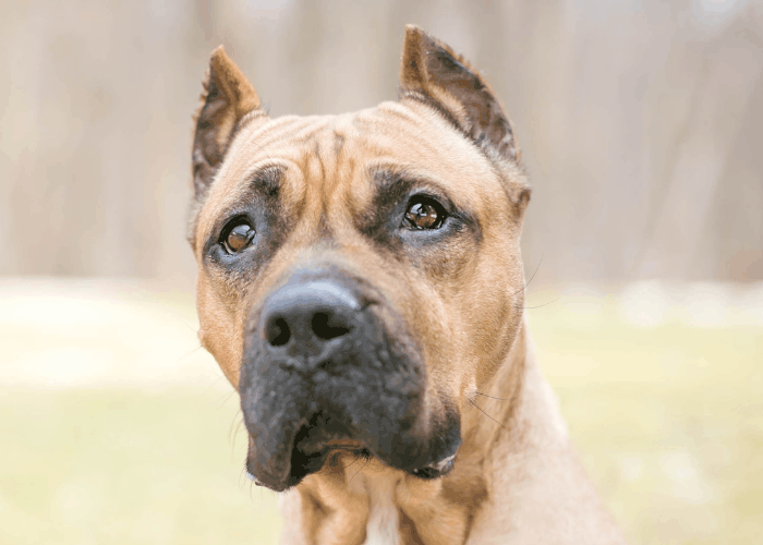 presa canario with cropped ears