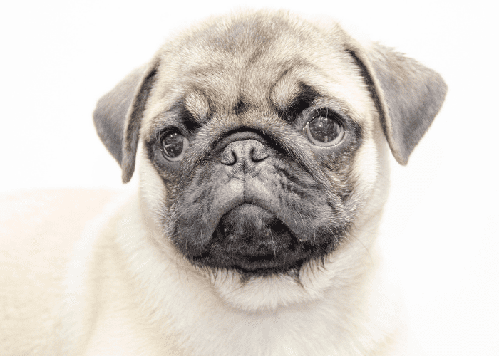 pug puppy on a white background