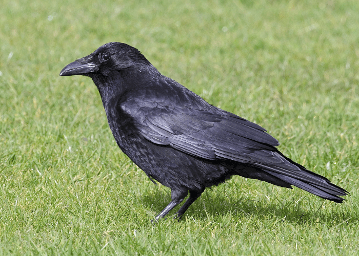 raven on the lawn