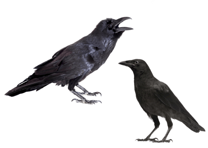 raven vs crow difference illustration